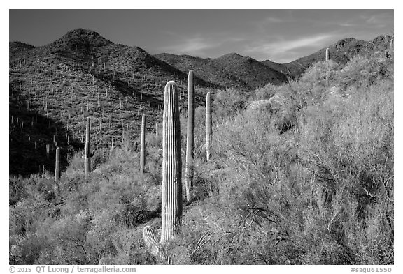 Palo Verde and slopes covered with cactus, Tucson Mountains. Saguaro National Park (black and white)