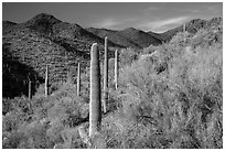 Palo Verde and slopes covered with cactus, Tucson Mountains. Saguaro National Park ( black and white)