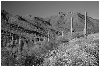 Blooming brittlebush and slopes covered with cactus, Tucson Mountains. Saguaro National Park ( black and white)