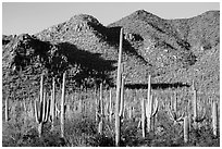 Dense saguaro forest and Red Hills. Saguaro National Park ( black and white)