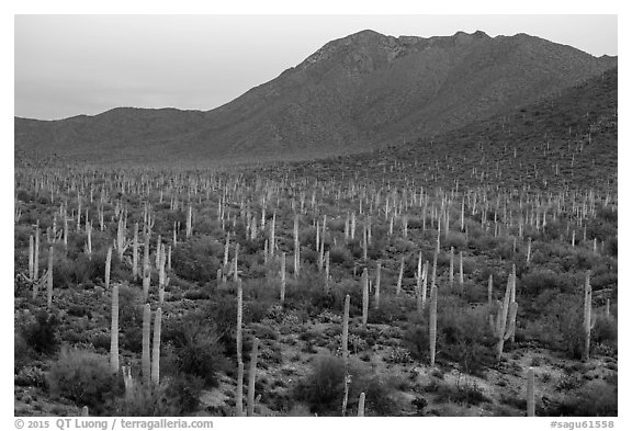 Bajada with cactus forest and Tucson Mountains at dusk. Saguaro National Park (black and white)