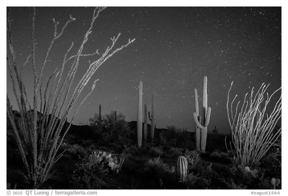 Ocotillo and saguaro cactus at night. Saguaro National Park (black and white)