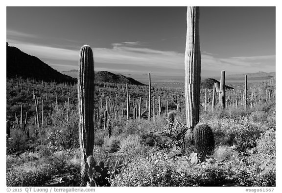 Springtime in the Sonoran Desert. Saguaro National Park (black and white)