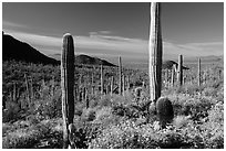 Springtime in the Sonoran Desert. Saguaro National Park ( black and white)