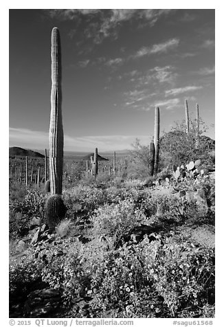 Sonoran Desert in bloom. Saguaro National Park (black and white)