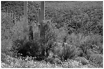 Bajada in springtime. Saguaro National Park ( black and white)