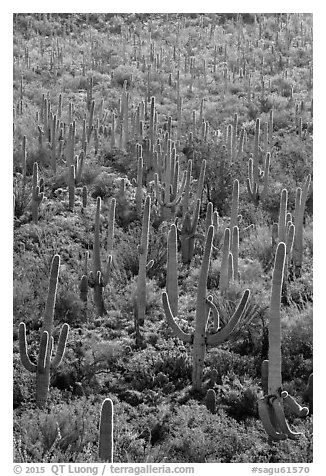 Dense saguaro cactus forest on Bajada. Saguaro National Park (black and white)