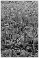 Dense saguaro cactus forest on Bajada. Saguaro National Park ( black and white)