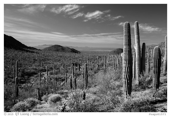 Visitor looking, Valley View trail. Saguaro National Park (black and white)
