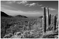 Visitor looking, Valley View trail. Saguaro National Park ( black and white)