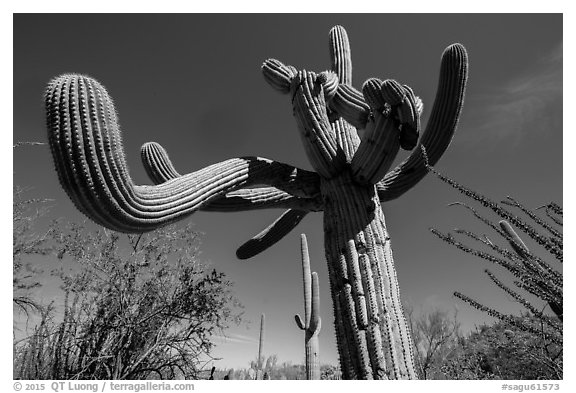 Saguaro cactus with multiple twisted arms. Saguaro National Park (black and white)