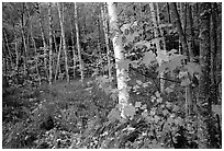 Autumn forest scene with white birch and red maples. Acadia National Park, Maine, USA. (black and white)