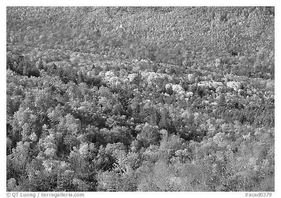 Valley filled  with trees in autumn foliage. Acadia National Park (black and white)