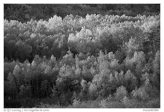 Distant mosaic of trees in autumn foliage. Acadia National Park (black and white)