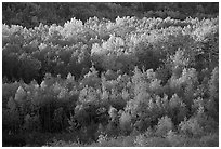 Distant mosaic of trees in autumn foliage. Acadia National Park, Maine, USA. (black and white)