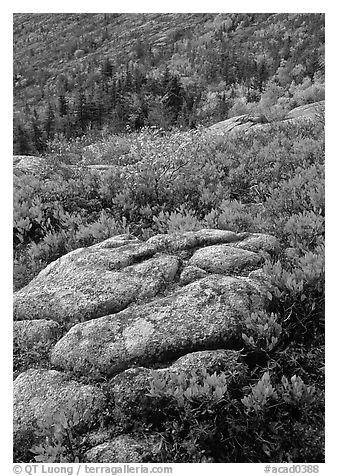 Bright red shrubs and granite slabs on Cadillac mountain. Acadia National Park (black and white)