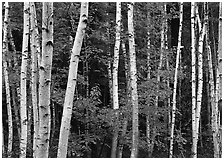 White birch trunks and orange leaves of red maples. Acadia National Park, Maine, USA. (black and white)