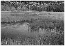 Reeds in pond with trees in fall foliage in the distance. Acadia National Park ( black and white)