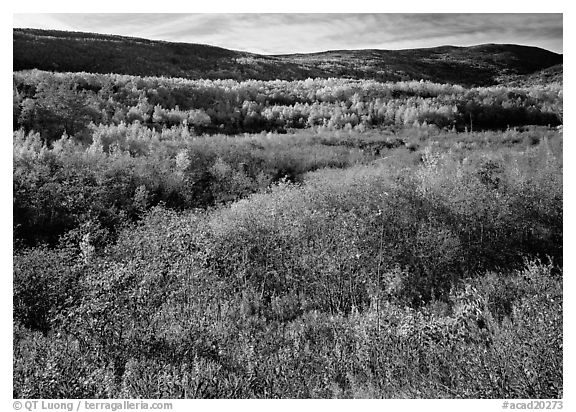 Shrubs, and hills with trees in autumn colors. Acadia National Park (black and white)