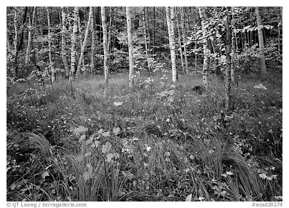 Grasses with fallen leaves and birch forest in autumn. Acadia National Park (black and white)