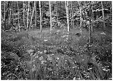 Grasses with fallen leaves and birch forest in autumn. Acadia National Park, Maine, USA. (black and white)