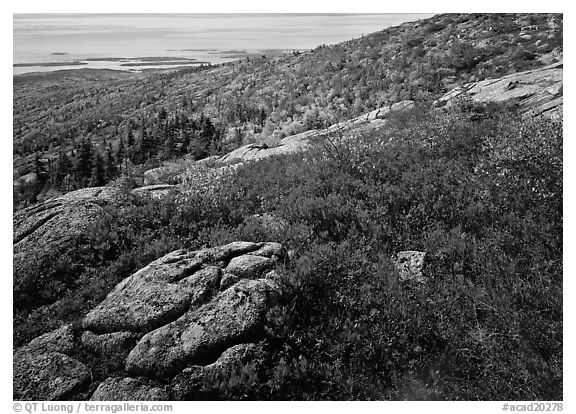 Shrubs in autumn color and granite slabs on Cadillac mountain. Acadia National Park (black and white)