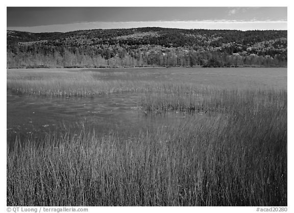 Reeds, pond, and hill with fall color. Acadia National Park (black and white)