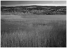 Reeds, pond, and hill with fall color. Acadia National Park, Maine, USA. (black and white)