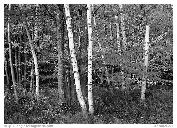 White birch trees, orange and red maple trees in autumn. Acadia National Park (black and white)
