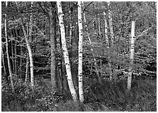 White birch and maples in autumn. Acadia National Park, Maine, USA. (black and white)