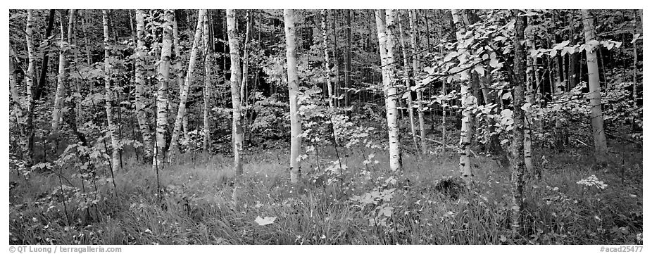 Forest in autumn. Acadia National Park (black and white)