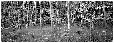 Forest in autumn. Acadia National Park (Panoramic black and white)
