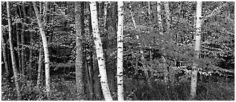 Forest scene in the fall with birch and maples. Acadia National Park (Panoramic black and white)