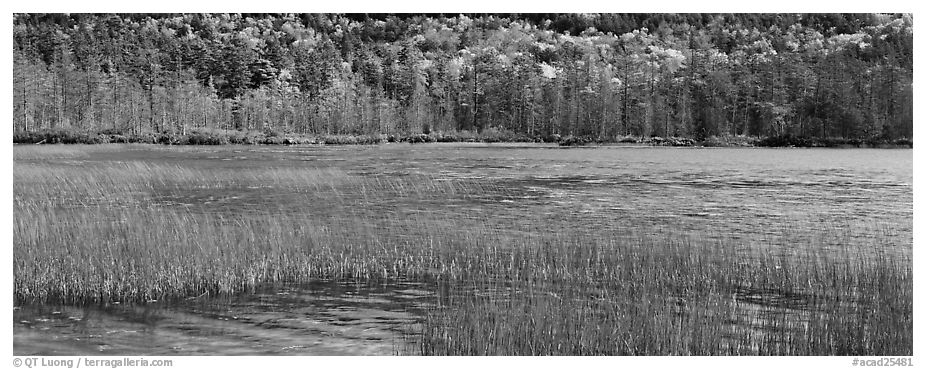 Pond, reeds and trees in autumn. Acadia National Park (black and white)
