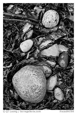 Pebbles and seaweeds. Acadia National Park (black and white)