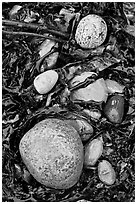 Pebbles and seaweeds. Acadia National Park, Maine, USA. (black and white)