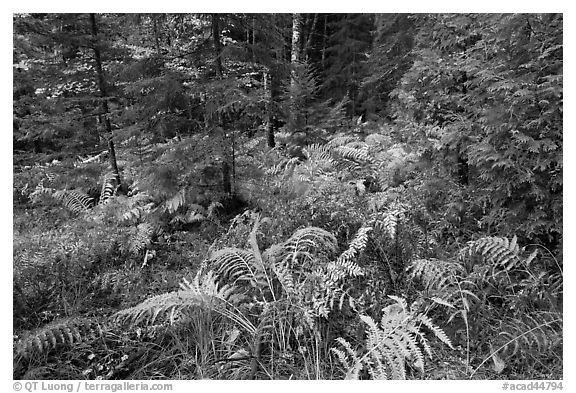 Forest undergrowth in autumn. Acadia National Park (black and white)