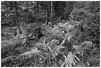 Forest undergrowth in autumn. Acadia National Park, Maine, USA. (black and white)