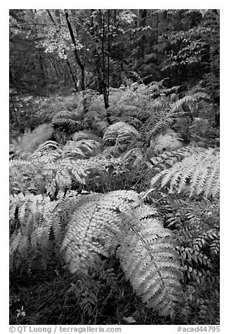 Moving ferns in autumn colors. Acadia National Park (black and white)