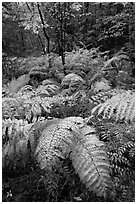 Moving ferns in autumn colors. Acadia National Park, Maine, USA. (black and white)