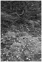 Moss, leaves, and tree. Acadia National Park, Maine, USA. (black and white)