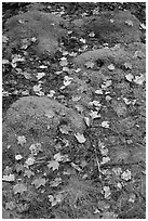 Fallen leaves on green moss. Acadia National Park, Maine, USA. (black and white)