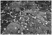 Green moss with red maple leaves. Acadia National Park, Maine, USA. (black and white)