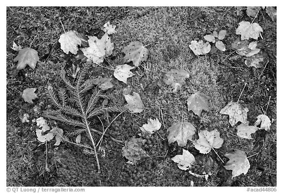 Pine brach, maple leaves, and moss. Acadia National Park (black and white)