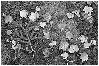 Pine brach, maple leaves, and moss. Acadia National Park, Maine, USA. (black and white)