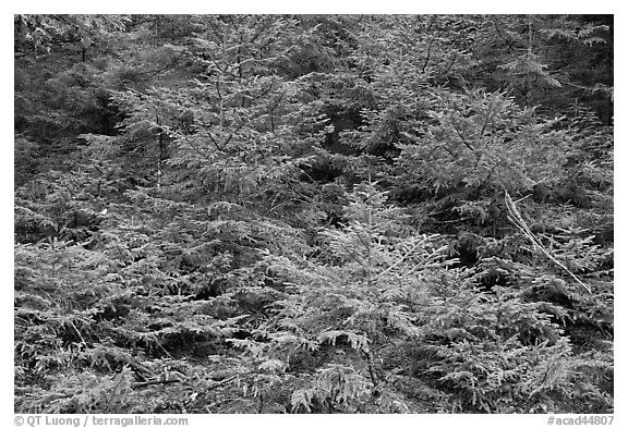 Young pine trees. Acadia National Park (black and white)