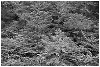 Young pine trees. Acadia National Park, Maine, USA. (black and white)