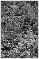 Pine saplings. Acadia National Park, Maine, USA. (black and white)
