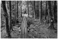 Boardwalk in wet forest environment. Acadia National Park, Maine, USA. (black and white)