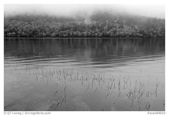 Reeds, hillside in autumn foliage, and fog, Jordan Pond. Acadia National Park (black and white)